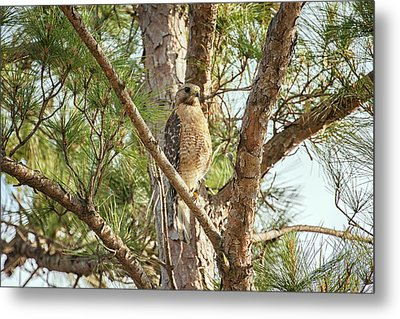 Metal Print featuring the photograph Red-shouldered Hawk by Zoe Ferrie