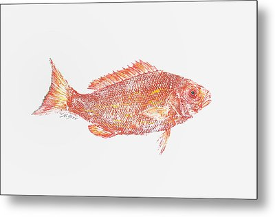 Red Snapper Against White Background Metal Print by Nancy Gorr