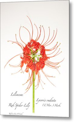 Red Spider-lily Metal Print