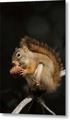 Red Squirrel Eating Pine Nut Metal Print