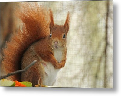 Red Squirrel Metal Print by Martyn Bennett