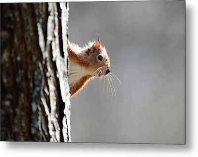 Red Squirrel On A Tree Metal Print