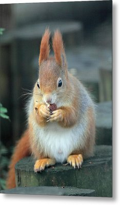 Red Squirrel With A Nut Metal Print by Martyn Bennett