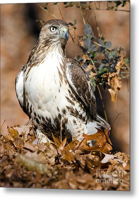 Red Tail Daze Metal Print by Stephen Flint