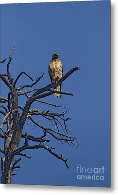 Red-tail Hawk   #0622 Metal Print by J L Woody Wooden