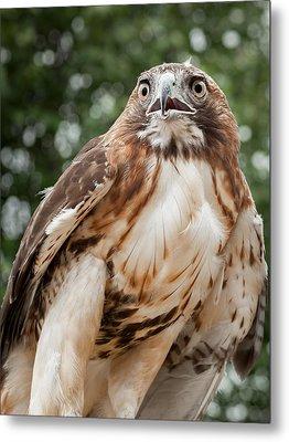 Red Tail Hawk Metal Print by Bill Wakeley