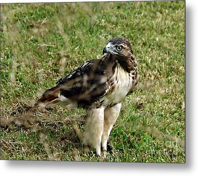 Red Tail Hawk Metal Print by Christy Ricafrente