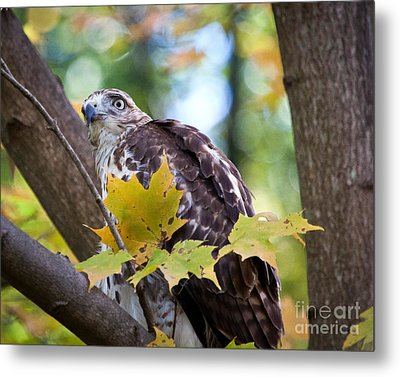 Metal Print featuring the photograph Red Tail Hawk Closeup by Eleanor Abramson