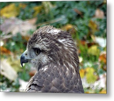 Red Tail Hawk Head Shot Metal Print by Gena Weiser