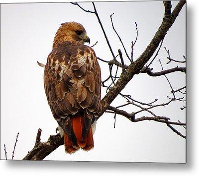 Red Tail Hawk In Winter Metal Print