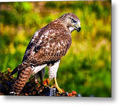 Red Tail Hawk Metal Print by Michael Toy