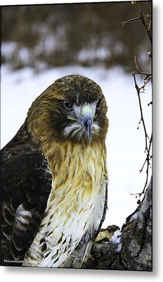 Red Tail Hawk On The Prowl Metal Print