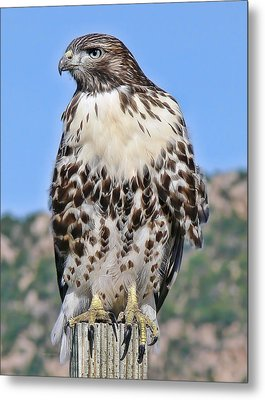 Red Tail Hawk Youth Metal Print by Jennie Marie Schell
