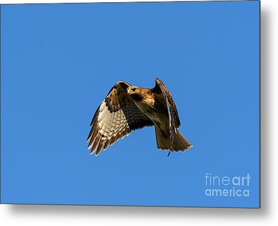 Red-tail Hover Metal Print by Mike  Dawson