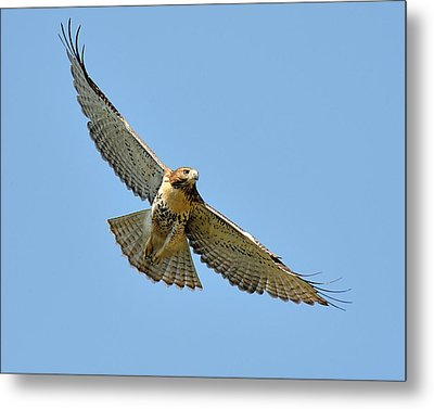 Red Tail In Flight Metal Print by Angel Cher