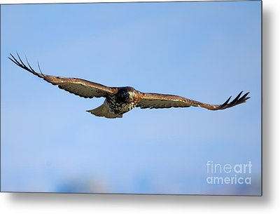 Red -tail Stare Metal Print by Mike Dawson