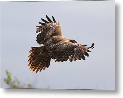 Red Tail Take Off Metal Print by Paul Marto