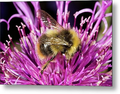 Red-tailed Bumblebee On Knapweed Metal Print by Bob Gibbons