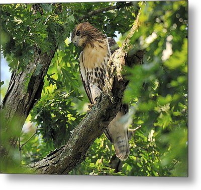 Red Tailed Hawk Metal Print by Angel Cher
