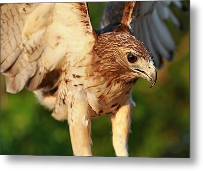Red Tailed Hawk Hunting Metal Print by Dan Sproul