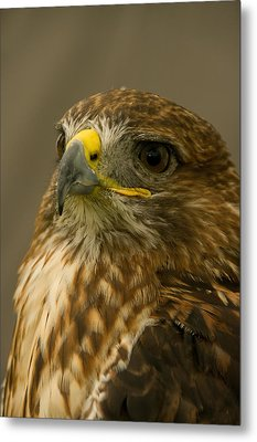 I'm So Proud - Red Tailed Hawk Metal Print by Jacqi Elmslie