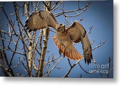 Red Tailed Hawk Metal Print by Julie Palencia