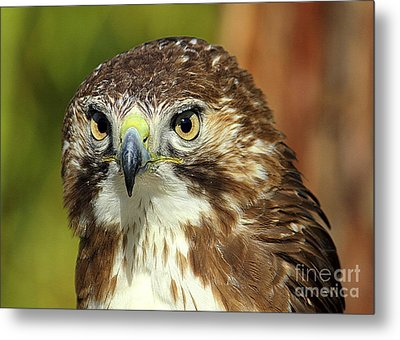 Metal Print featuring the photograph Red Tailed Hawk by Lisa L Silva