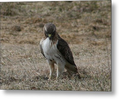 Metal Print featuring the photograph Red Tailed Hawk by Neal Eslinger