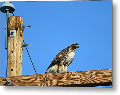 Red-tailed Hawk On A Power Pole Metal Print