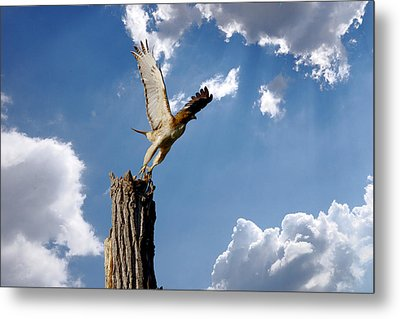Red-tailed Hawk Perch Series 5 Metal Print by Roy Williams