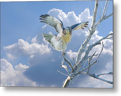 Red-tailed Hawk Pirouette Pose Metal Print by Roy Williams