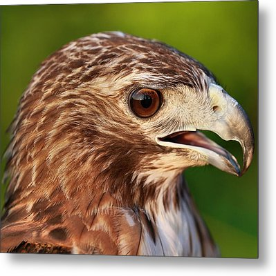 Red Tailed Hawk Portrait Metal Print by Dan Sproul