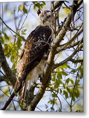Metal Print featuring the photograph Red Tailed-hawk by Ricky L Jones