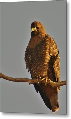 Red-tailed Hawk Rufous-morphed Metal Print by Sara Edens