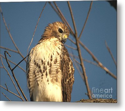 Red Tailed Hawk  Metal Print by Susan  Dimitrakopoulos