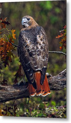 Red Tailed Hawk Metal Print by Todd Bielby