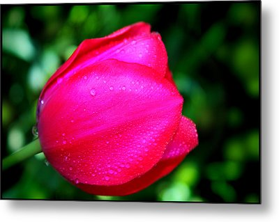 Red Tulip After The Rain Metal Print by Aya Murrells