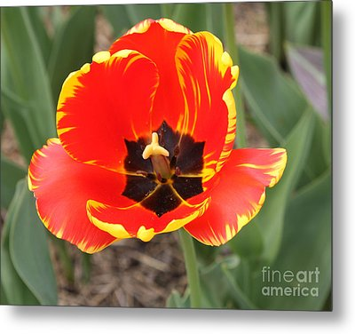 Red Tulip At Brooklyn Botanical Gardens Metal Print by John Telfer