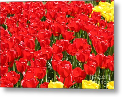 Red Tulip Field Metal Print by Tap On Photo