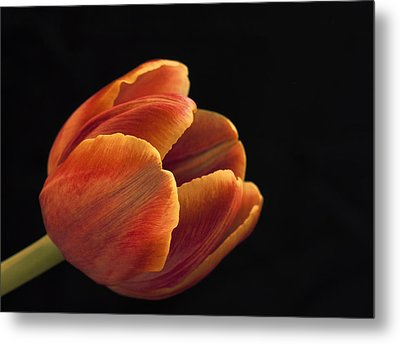 Metal Print featuring the photograph Red Tulip by Kim Andelkovic