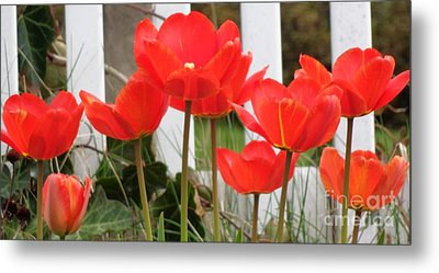 Red Tulips At Fence Metal Print by Christina Verdgeline