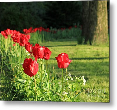 Metal Print featuring the photograph Red Tulips by Jose Oquendo