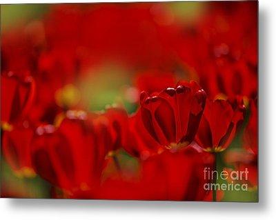 Red Tulips Metal Print by Nailia Schwarz