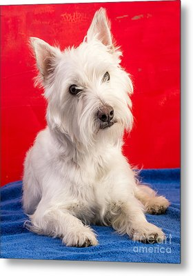 Red White And Blue Westie Metal Print by Edward Fielding
