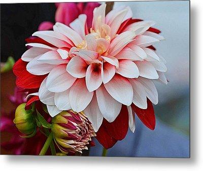 Red White Chrysentimum Flower Metal Print by Johnson Moya