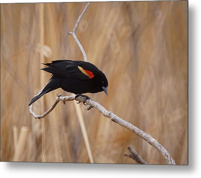 Red Winged Blackbird 1 Metal Print