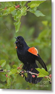 Red-winged Blackbird - D008481 Metal Print by Daniel Dempster