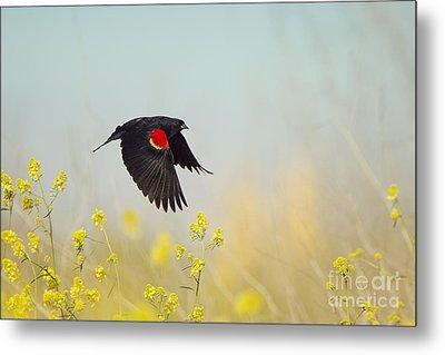 Red Winged Blackbird In Flight Metal Print