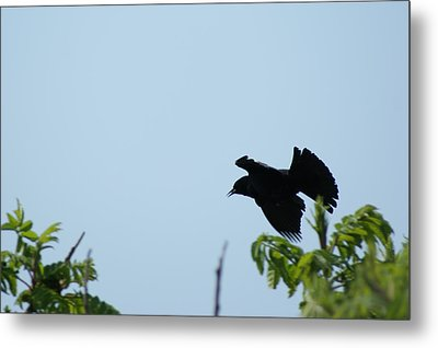 Red Winged Blackbird In Taking Off Metal Print by Andrew Lahay