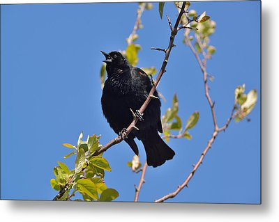 Metal Print featuring the photograph Red Winged Blackbird by Kathy King